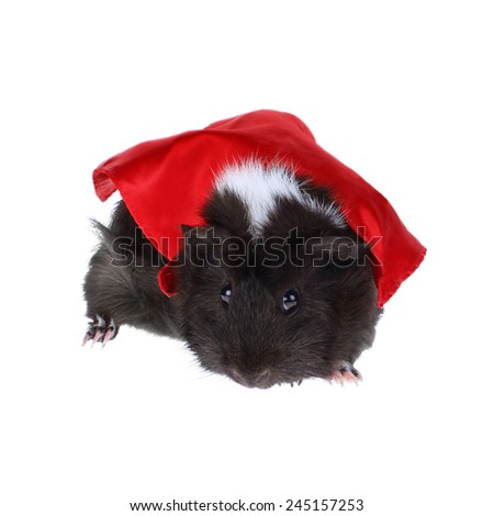 Super Hero Guinea Pig - Black and White Guinea Pig with Red Cape - stock photo