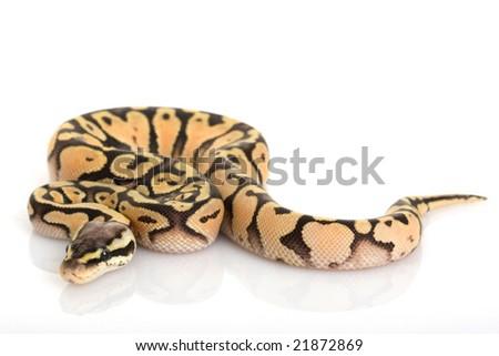 Super Pastel Ball Python (Python regius) on white background. - stock photo