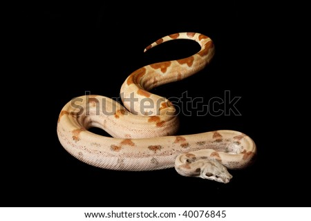 Super salmon Columbian red-tailed boa (Boa constrictor constrictor) isolated on black background. - stock photo