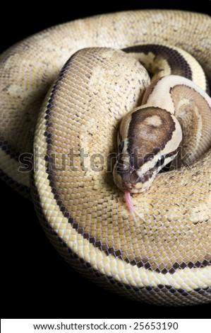 Super Stripe Ball Python (Python regius) - stock photo