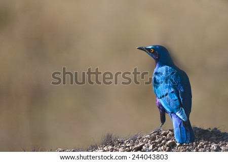 Superb starling (Lamprotornis superbus) is sitting on buffalo's bag - stock photo