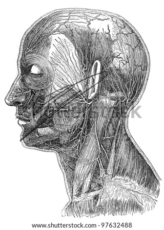 superficial nerves of head and neck - an illustration of the encyclopedia publishers Education, St. Petersburg, Russian Empire, 1896 - stock photo