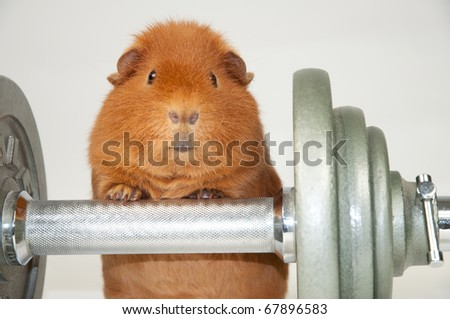 superpig workout - stock photo
