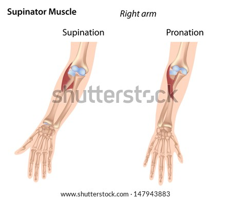 Supinator muscle - stock photo