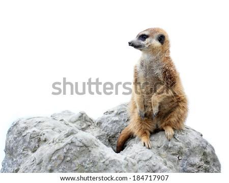 suricata isolated - stock photo