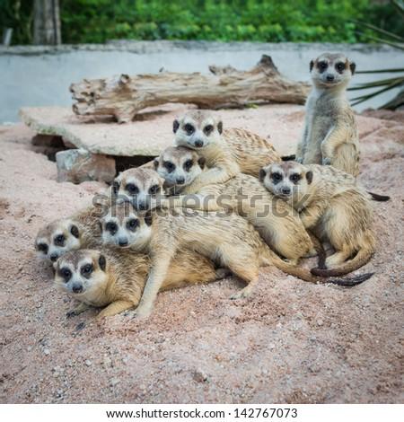 Suricate or meerkat family - stock photo