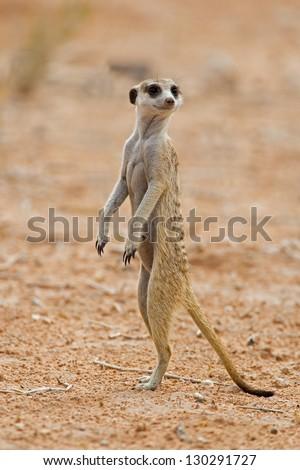 Suricate or meerkat standing in Kalahari desert; Suricata suricatta - stock photo