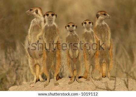 Suricate or meerkat (Suricata suricatta) family, Kalahari, South Africa - stock photo