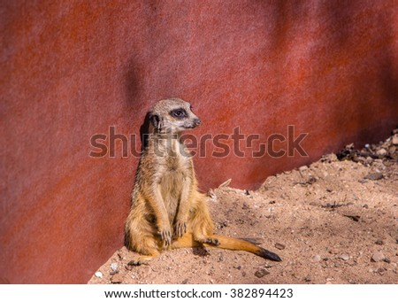 Suricate sitting by the red wall on the watch, red background, metal background. Animal is relaxing, resting, but watching, controlling the situation. Meerkat is in the relaxed posture, pose, position - stock photo
