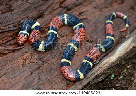 Surinam coral snake (Micrurus surinamensis) - stock photo