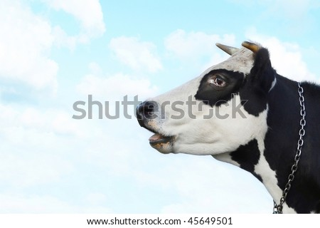 Surprised cow on blue sky background - stock photo