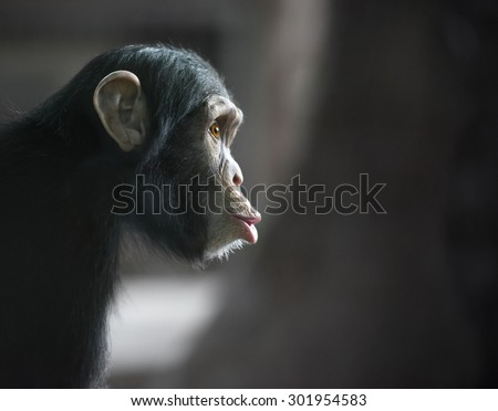 Surprised monkey. Chimpanzee's funny face looking surprised, shot with selective focus and copy space - stock photo
