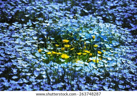 Surrounded. Group of dandelion (taraxacum)flowers, surrounded by Nemophila, or baby blue eyes flowers (Nemophila menziesii, California bluebell). A spring scene. - stock photo