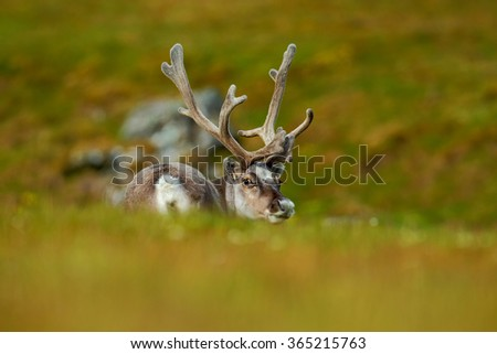 Svalbard Reindeer, Rangifer tarandus, animal sitting in the green grass with massive antlers, nature habitat, Svalbard, Norway - stock photo