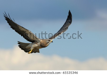 Swainson's Hawk in flight with a blue sky background - stock photo