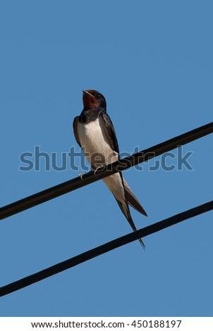Swallow bird on wire opposite blue sky - stock photo