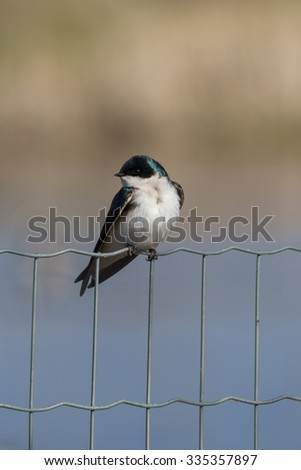 Swallow Perched on a Wire Fence - stock photo