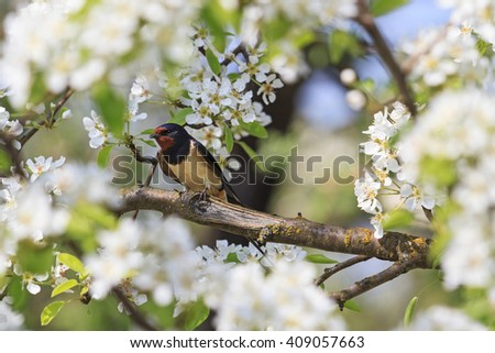 Swallow spring day in flowers of apple, spring birds singing - stock photo