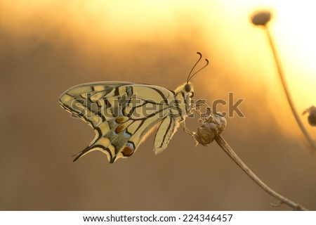 swallow tail butterfly at the sunset fire colors - stock photo