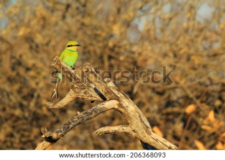 Swallow-tailed Bee Eater - African Wild Bird Background - Beautiful Green and Colorful Nature - stock photo
