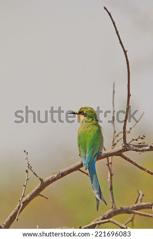Swallow tailed Bee-eater - African Wild Bird Background - Green and Blue Beauty - stock photo