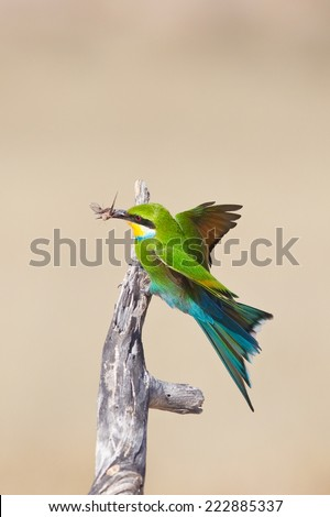 Swallow tailed bee-eater (Merops hirundineus) landing on a dead branch with food in it's beak, against a plain, natural background, South Africa - stock photo