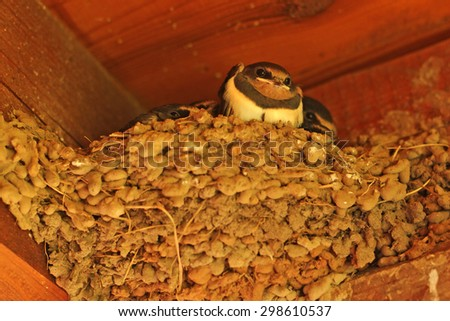 swallows, baby birds in the nest - stock photo