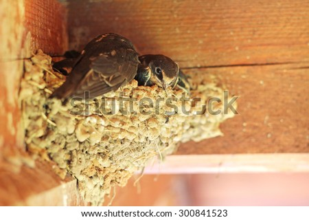 swallows in the nest - stock photo