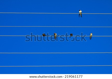 Swallows sitting on electrical lines. - stock photo