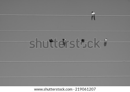 Swallows sitting on electrical lines. Black and white. - stock photo