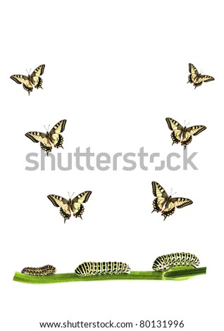 swallowtail butterflies and caterpillars - stock photo