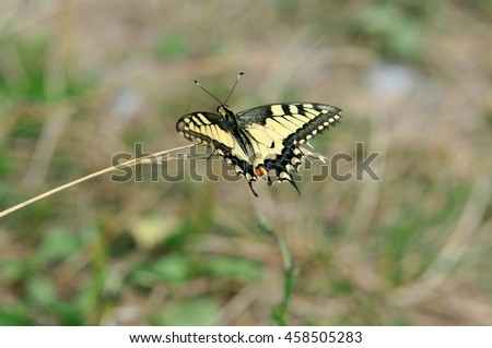 Swallowtail butterfly, Old World swallowtail. Swallowtail butterfly is drinking nectar from a clover flower. - stock photo