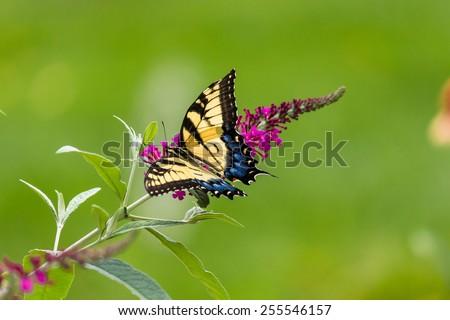 Swallowtail Butterfly on a Butterfly Bush. - stock photo