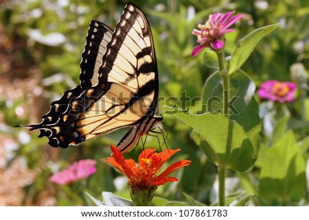swallowtail butterfly on zinnia - stock photo