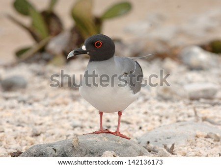Swallowtail Gull, Galapagos Islands - stock photo