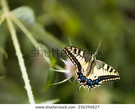 Swallowtail is sitting on a plant - stock photo