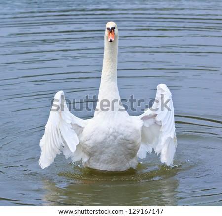 Swam - stock photo
