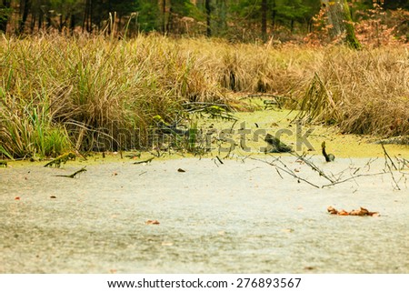 swamp landscape, bog forest with standing water. Autumn landscape - stock photo