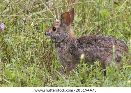 Swamp rabbit (Sylvilagus aquaticus) portrait, Brazos Bend state park, Needville, Texas, USA. - stock photo