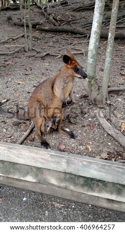 Swamp Wallaby with a joey popping out of its pouch, photo taken in Australia - stock photo