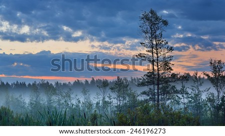 Swamp with birch trees in Latvia - stock photo