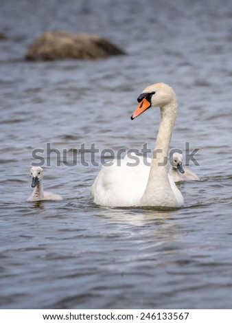 Swan and the chicks - stock photo