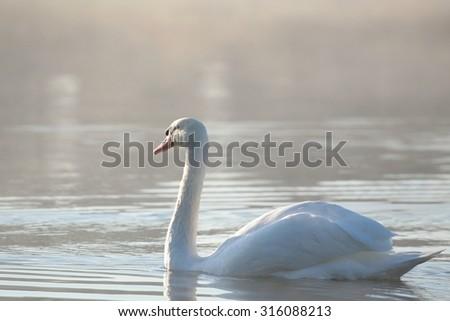 Swan at dawn. - stock photo