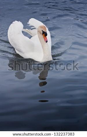 Swan at the lake - stock photo