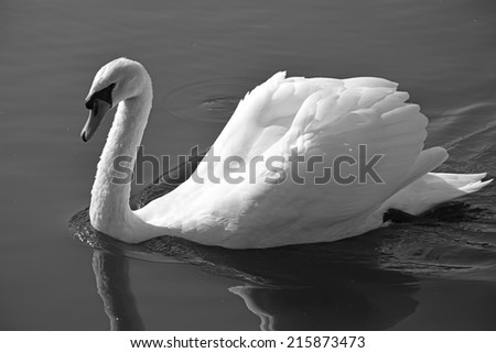 Swan at the pond. Black and white picture - stock photo
