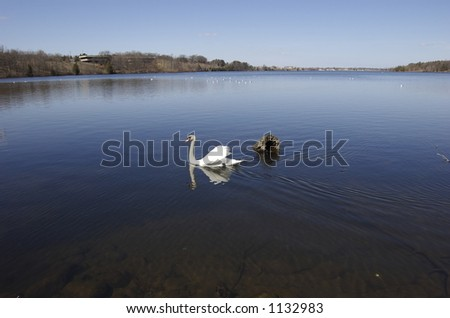 swan by log - stock photo