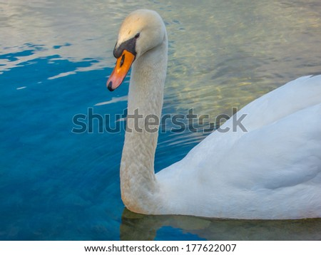 Swan closeup on a lake - stock photo