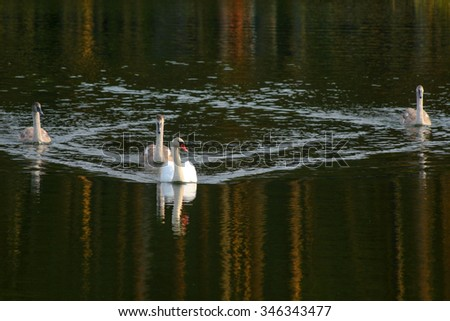 """Swan family. White swans and """"ugly"""" ducklings - stock photo"""