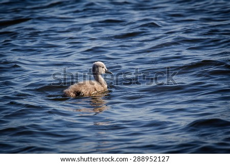 Swan floating on the water at sunrise of the day - stock photo