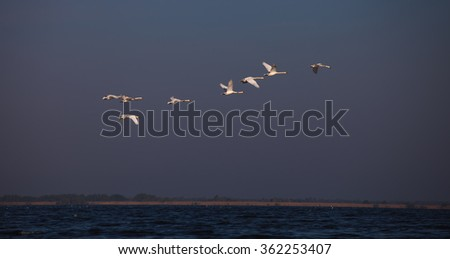 Swan flying in sunrise Danube Delta  - stock photo